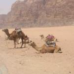 7. camels Wadi Rum