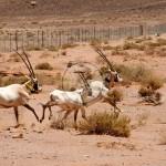 bedouin-heritage-oryx-release-078