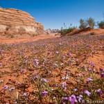 Wadi Rum Flowers